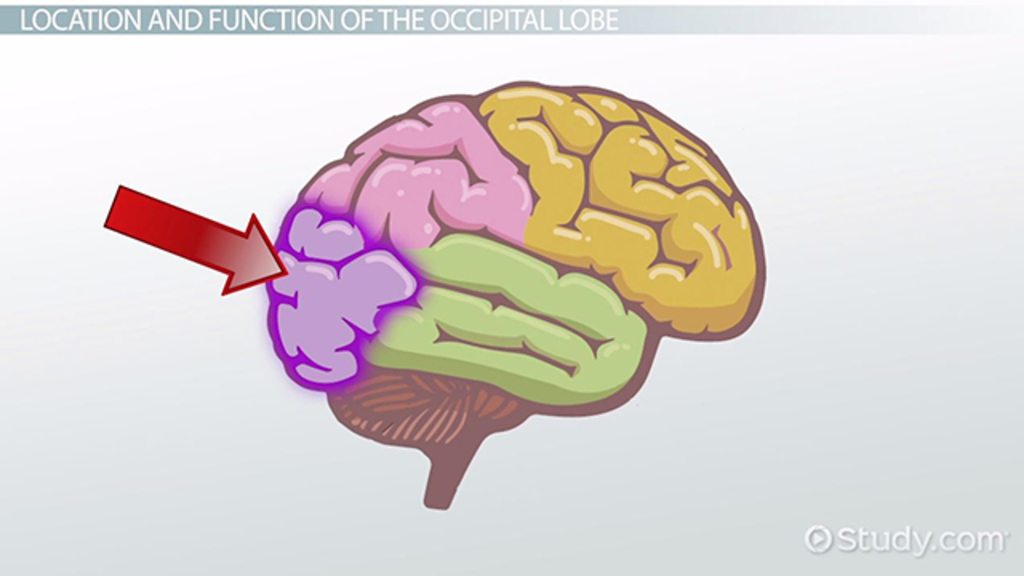 Occipital Lobe Definition Location Function Video Lesson