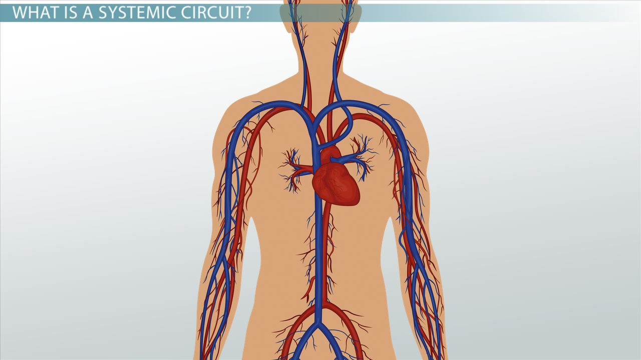 Systemic Circuit: Definition& Blood Flow - Video & Lesson Transcript ...