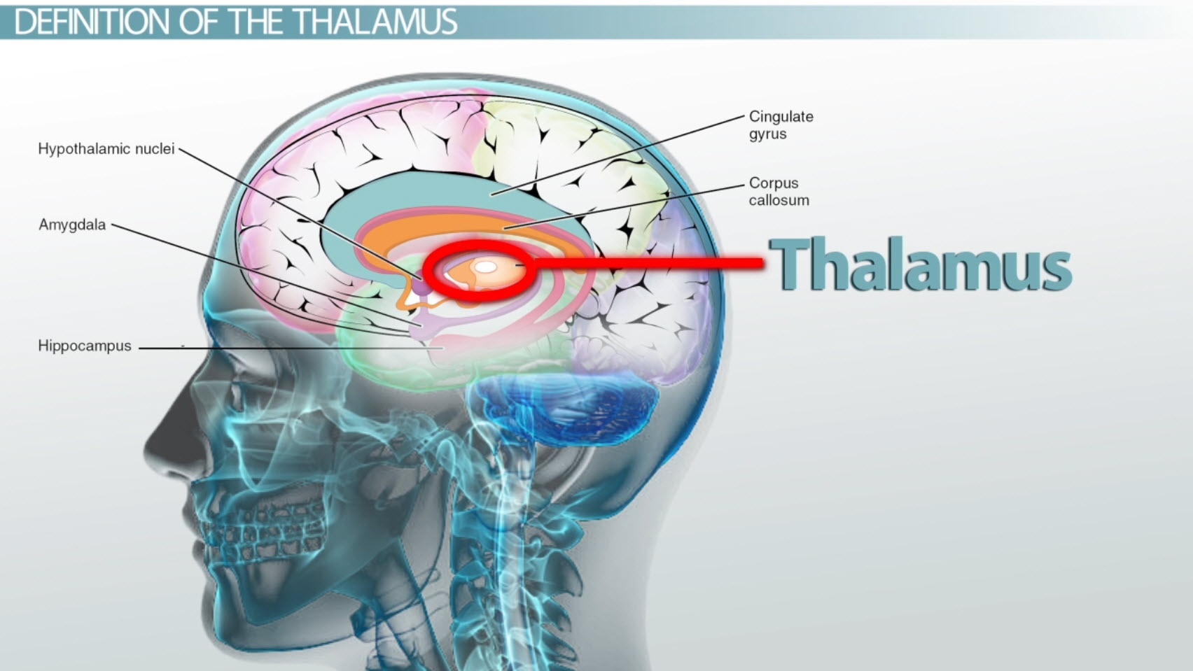 Thalamus: Definition, Functions & Location - Video & Lesson ...