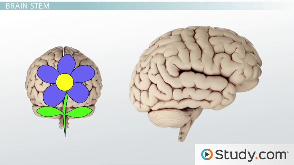 The Brain Structure And Function Video Lesson Transcript