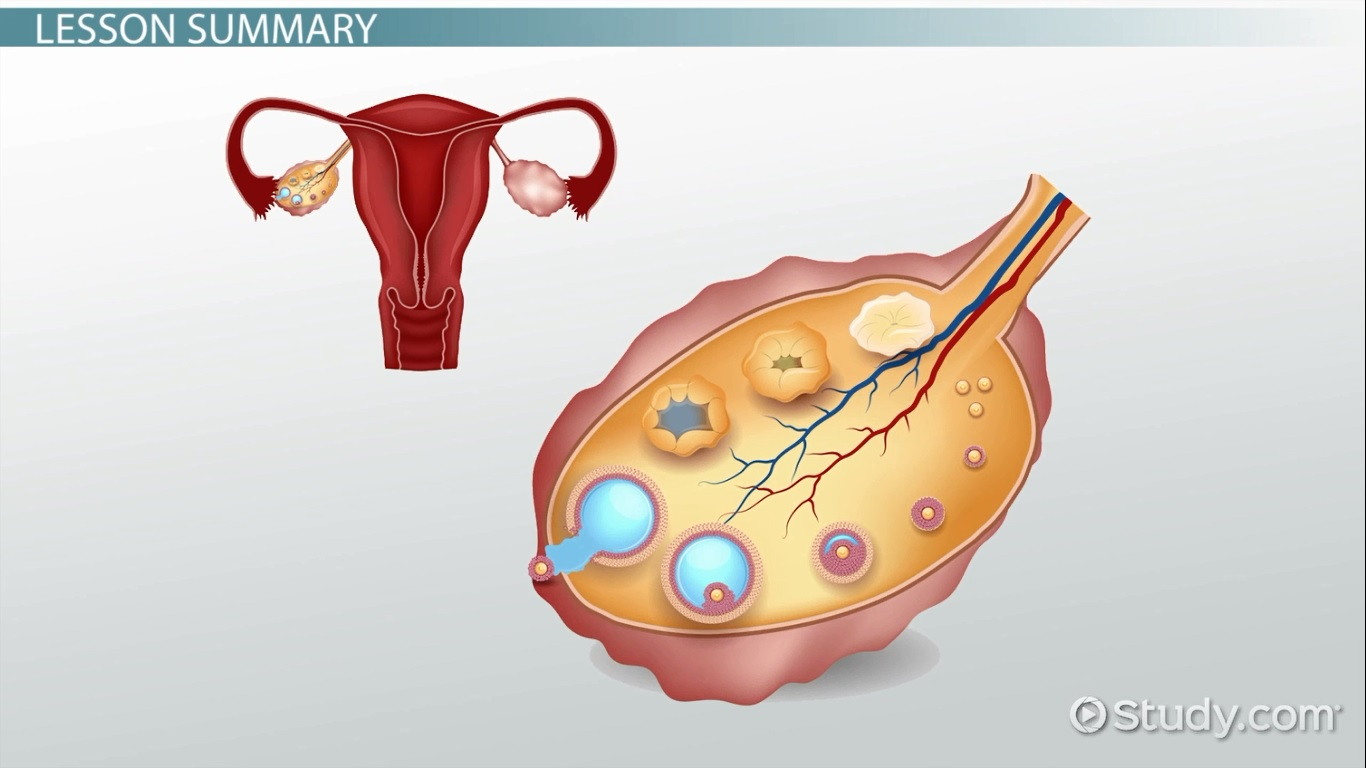 What Is A Fallopian Tube Function Obstruction Definition