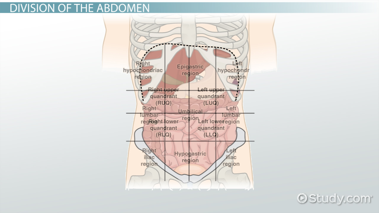 The 4 Abdominal Quadrants Regions Organs Video Lesson