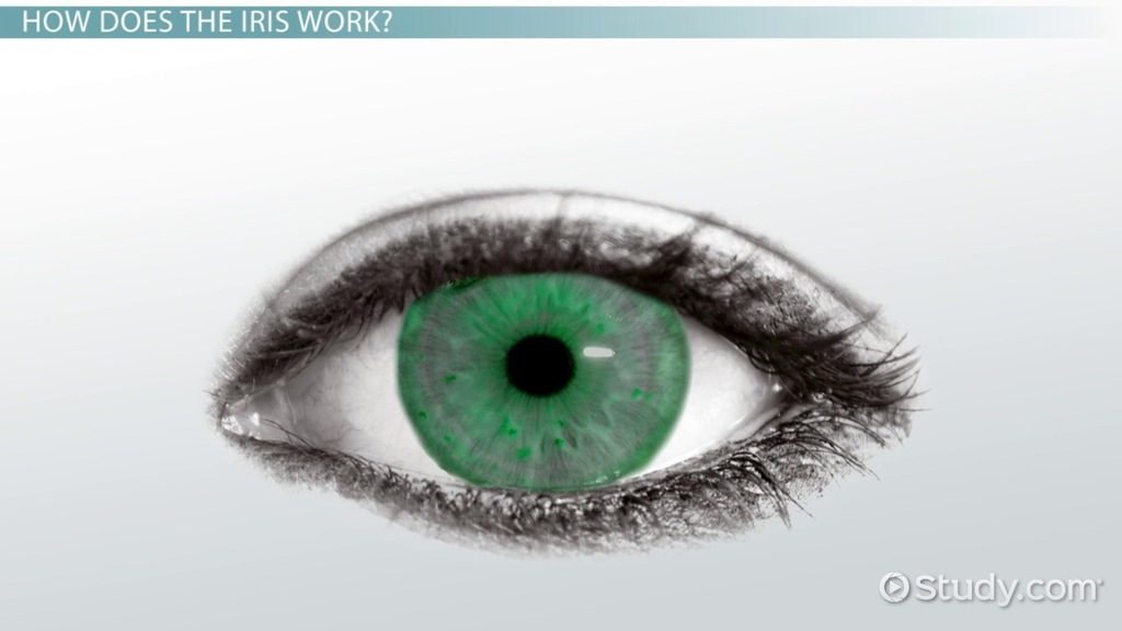 Parts Of The Eye And Their Functions Video Lesson Transcript