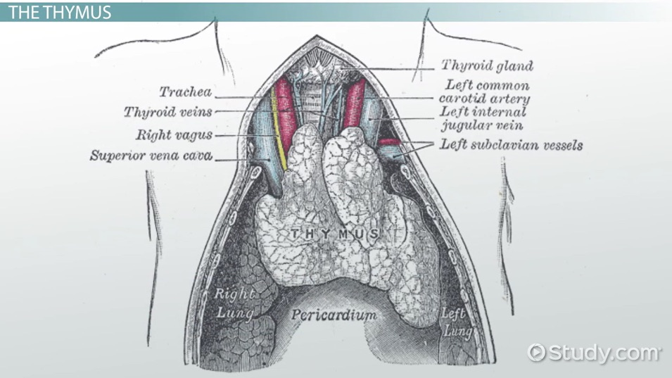 Thymus Disorders Video Lesson Transcript Study