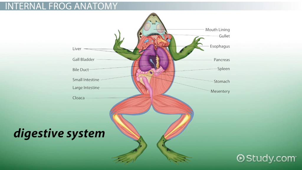 Frog Anatomy External Internal Video Lesson