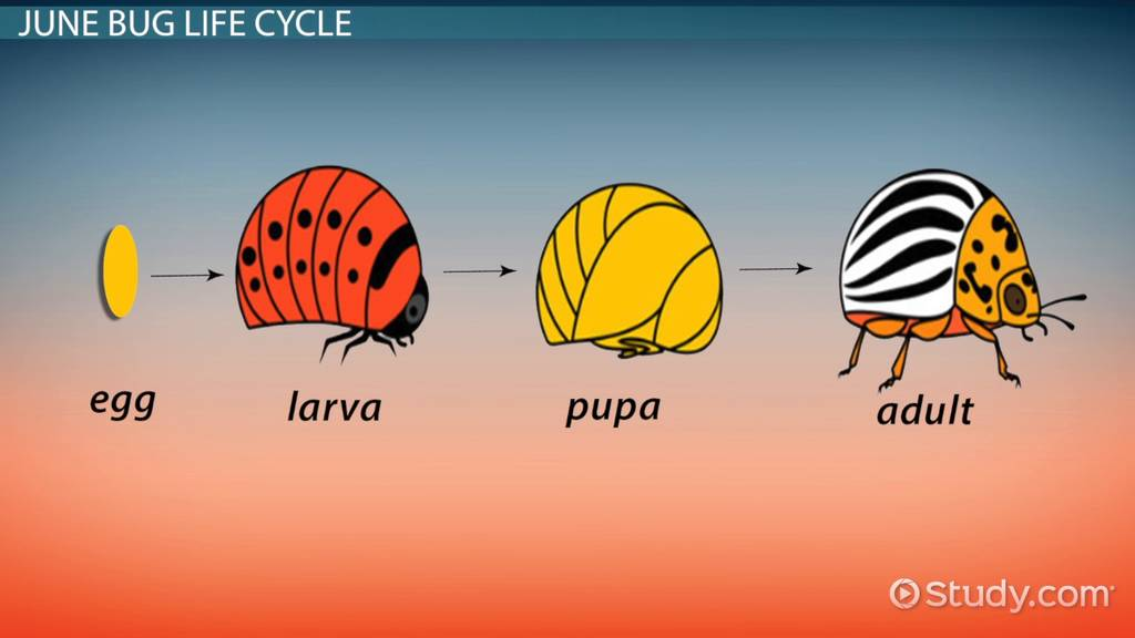 June Bug  Facts  U0026 Life Cycle