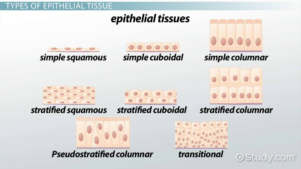 Types Of Epithelial Tissue Diseases Video Lesson Transcript
