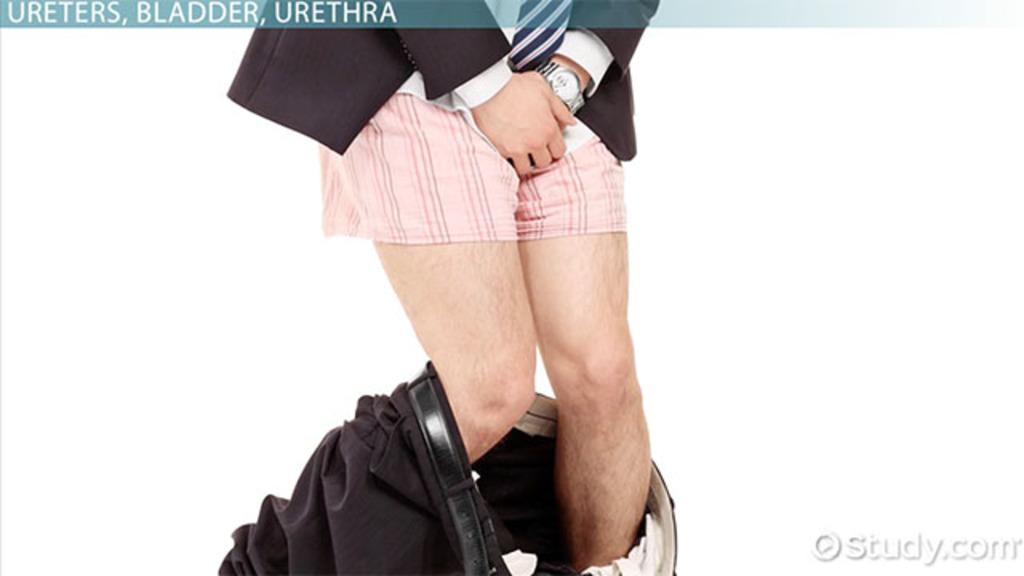 Ureters Bladder Urethra Structures Function Medical Terms