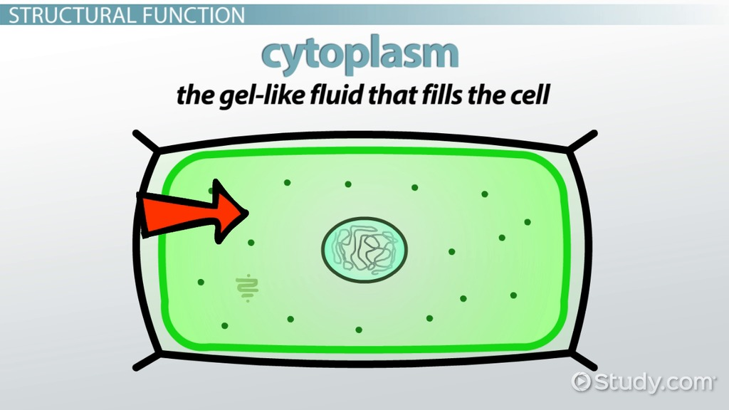 What Does The Cell Membrane Do In A Plant Cell