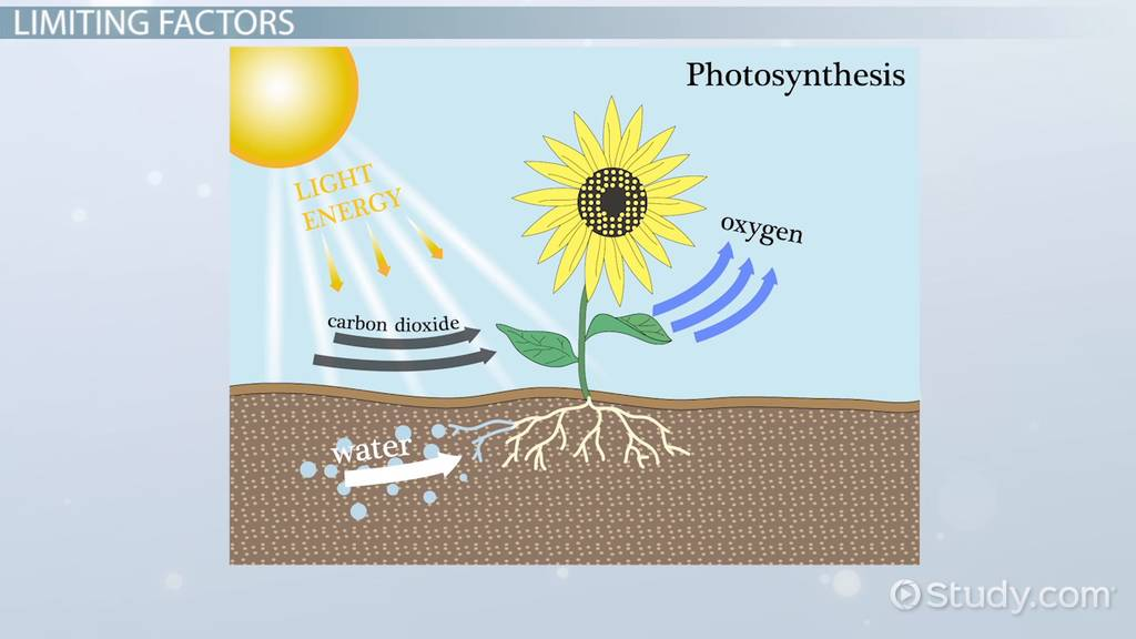 Limiting Factors Of Photosynthesis Video Lesson Transcript