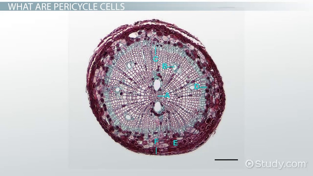 pericycle cells  function  u0026 concept