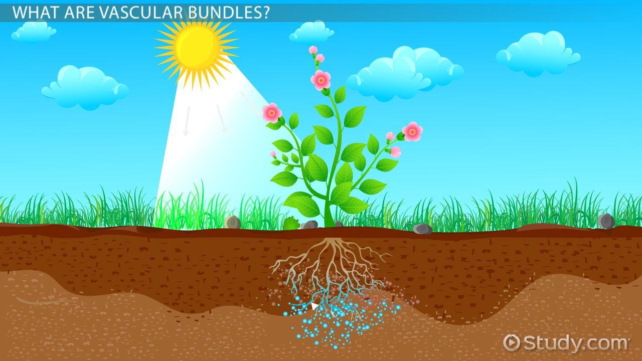 Vascular Bundles In Plants Function Amp Types Video