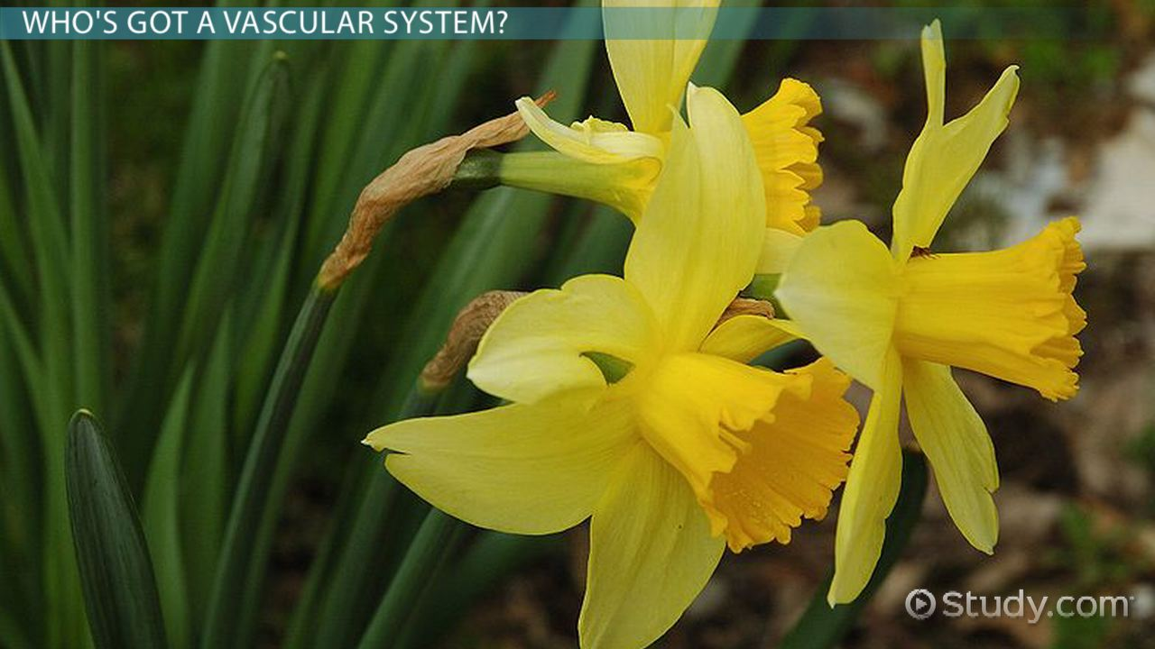Vascular Tissue In Plants Function Structure Video Lesson Cell Vegetal And Much More Interesting Information Transcript
