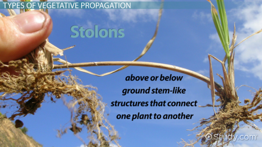 Asexual reproduction in plants cloning process