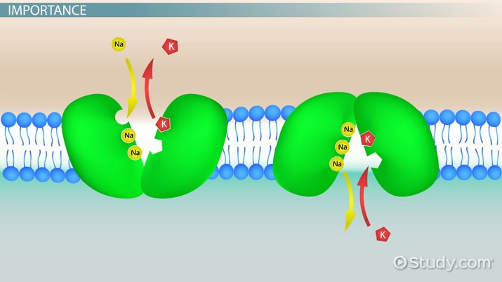 Why Is The Cell Membrane Important Video Lesson