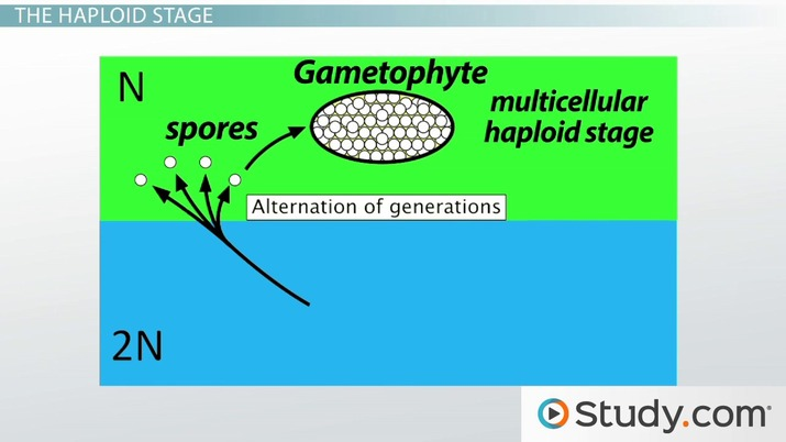 Alternation Of Generations The Gametophyte And Sporophyte