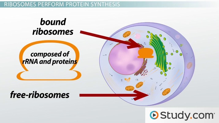 1.43_106476 the ribosome structure, function and location video & lesson
