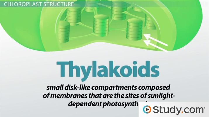 Chloroplast Structure Chlorophyll Stroma Thylakoid And Grana