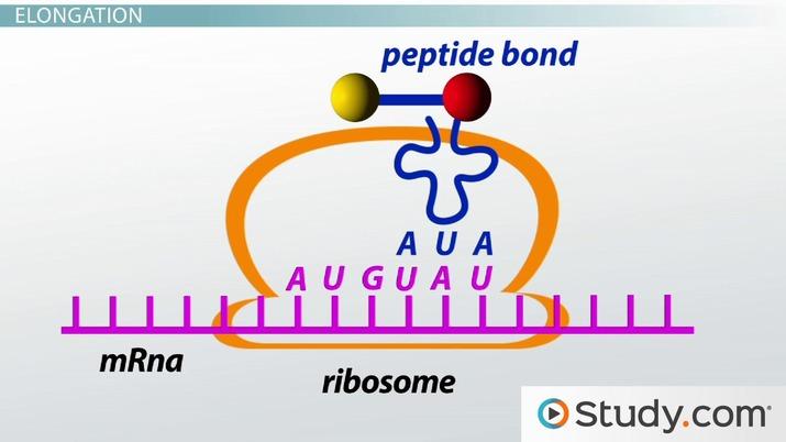 Translation Of Mrna To Protein Initiation Elongation Termination Steps