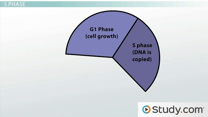 The Cell Cycle Definition Phases Sequence Video