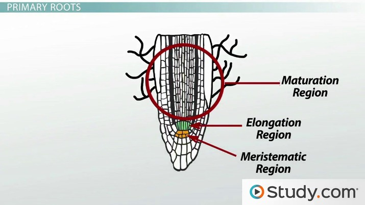 Root System Growth: The Root Cap, Primary Roots & Lateral Roots