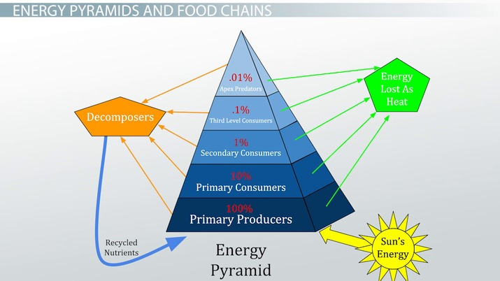 The 10% Energy Rule in a Food Chain