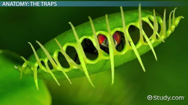 Venus Flytrap: Clification & Anatomy Video with Lesson ... on