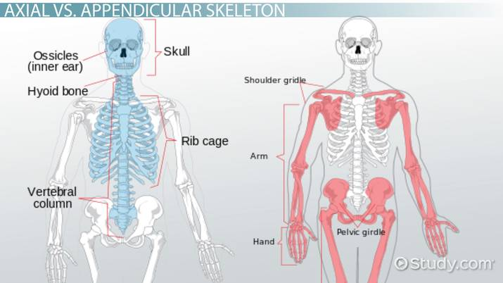 5e9wpeajhq what is the difference between the axial & appendicular skeleton