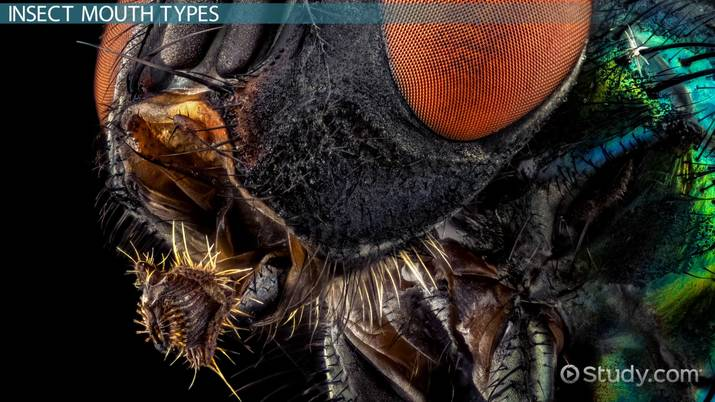 Insect Mouth: Parts, Types & Diagram - Video & Lesson