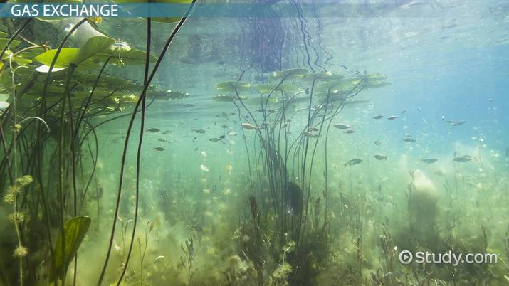Adaptation of Plants in an Aquatic Habitat - Video & Lesson