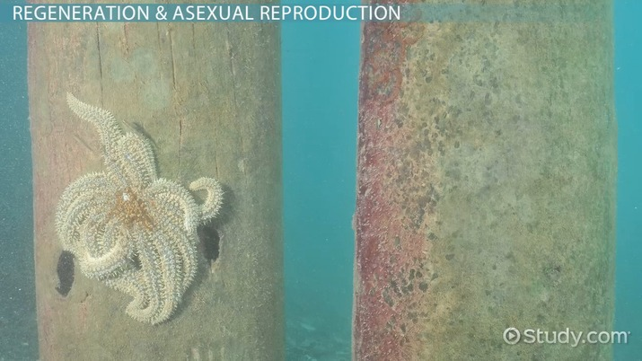 How can starfish reproduce asexually