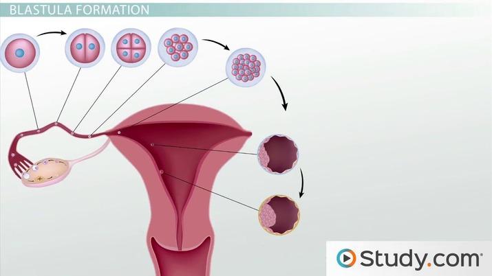 process of blastulation