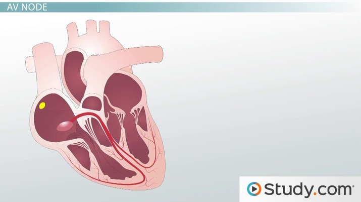 Heartbeat And Heart Contraction Coordination Video
