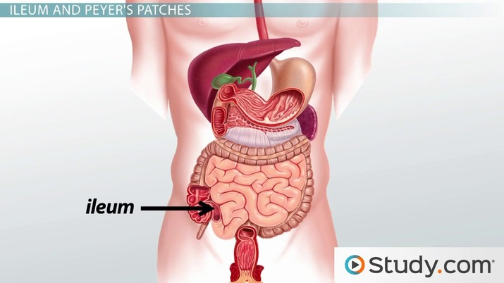 What Is The Small Intestine Anatomy And Functions Video