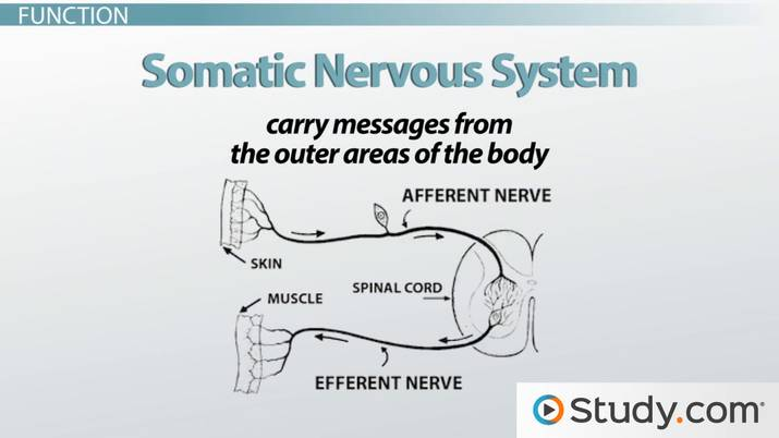 Somatic Nervous System: Definition, Function & Example