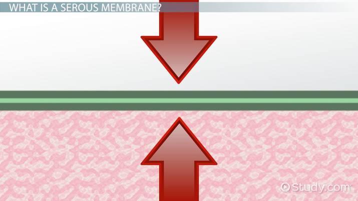 Serous Membrane Definition Function Video Lesson