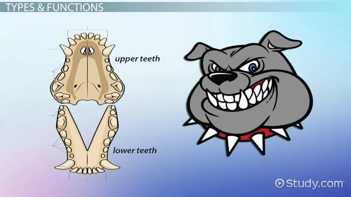 Animal Dental Formulas Video Lesson Transcript Study