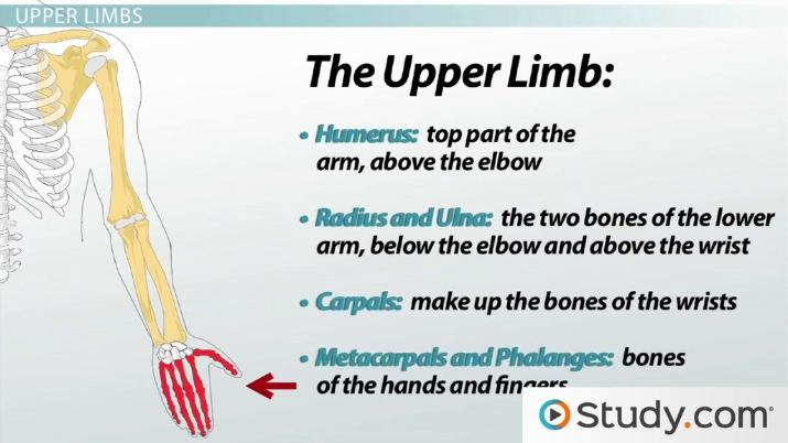 Appendicular Skeleton  Functions and Anatomy - Video   Lesson ... 4f563fe626f