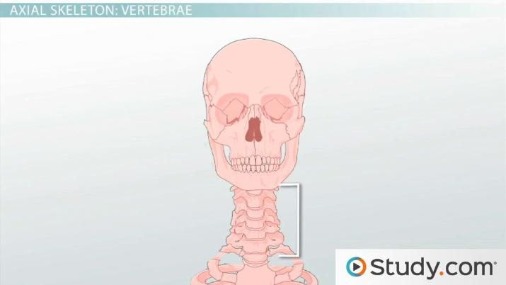 Axial Skeleton: Functions and Anatomy - Video & Lesson