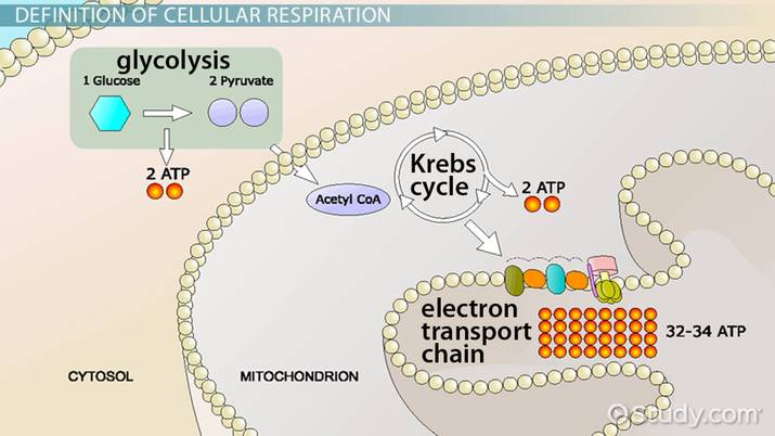 Pyruvate In Cellular Respiration Video Lesson