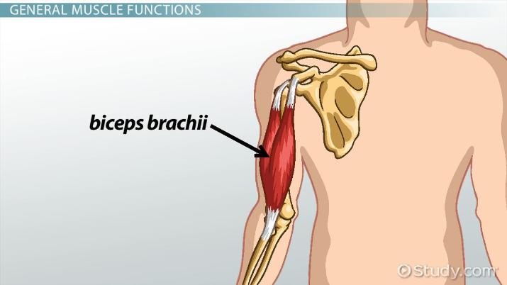 Biceps Brachii Origin Insertion Function Video Lesson