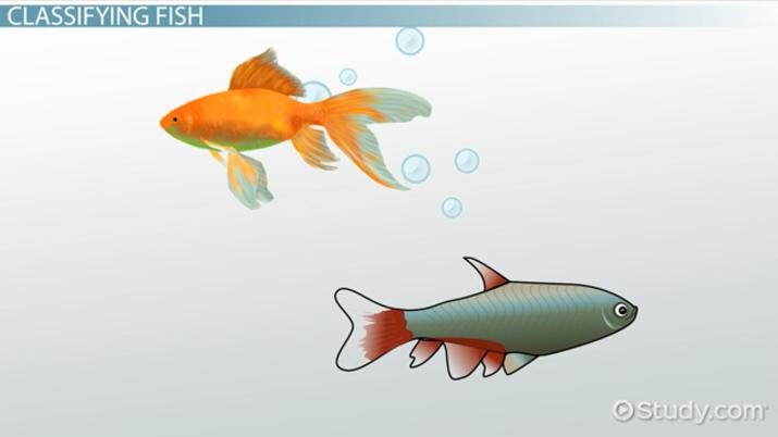 Bony Fish Characteristics Anatomy Types Video Lesson