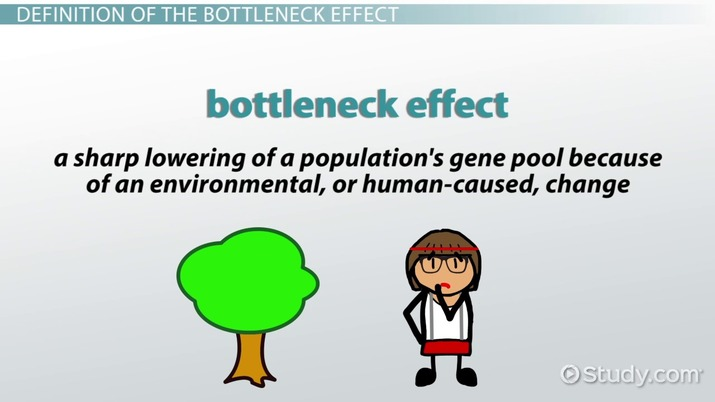 Beautiful Bottleneck Effect: Definition U0026 Example   Video U0026 Lesson Transcript |  Study.com