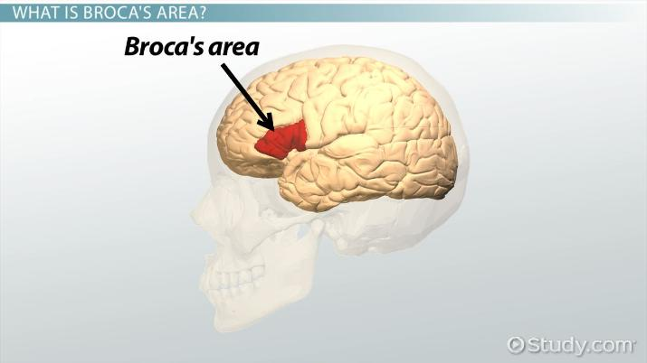 Broca's Area: Function & Definition - Video & Lesson