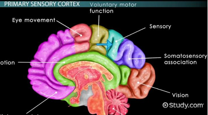 Sensory Cortex Definition Function Video Lesson Transcript