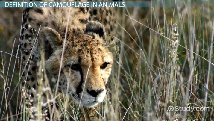 what is camouflage in animals  definition  u0026 examples