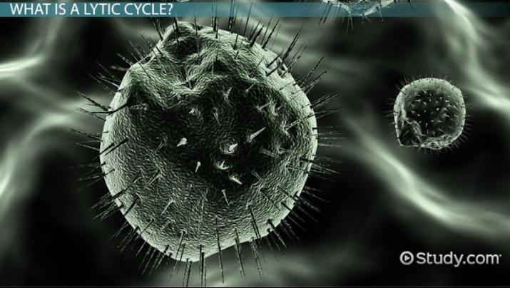 lytic cycle of a virus  definition  u0026 steps
