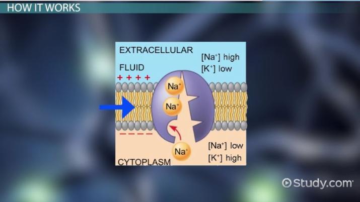 Sodium Potassium Pump  Definition  Function  U0026 Importance