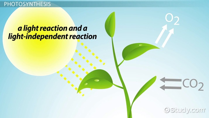 the light reactions of photosynthesis use _____ and produce _____