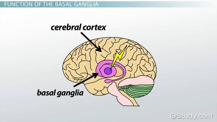 Basal Ganglia: Definition & Function - Video & Lesson Transcript ...